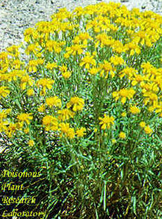 Rubberweed (or pingue) may reach a height of about a foot. It is a member of the sunflower family.