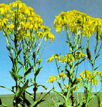 Sneezeweed (Helenium hoopesii)