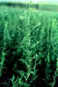 Tansy mustard (Descurainia pinnata)