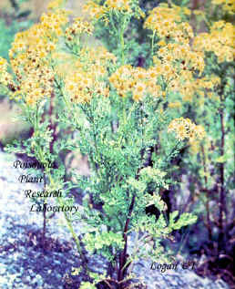 Mature tansy ragwort may grow 4 to 5 feet tall. It has a strong weedy odor and produces a great number os seeds.