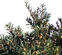 Note the small yellowish berries of English yew.