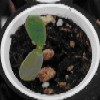 Medicago seedling