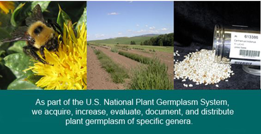There are more than 24,000 accessions in the cool-season grass and safflower collections.  Major goals are increasing seed, gathering accession data and images, and managing the International Safflower Genetic Resources web site http://safflower.wsu.edu/.