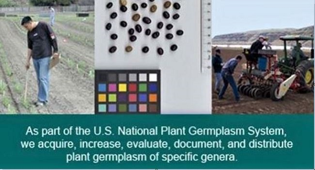 Images from the Cool-Season Food Legumes collection
