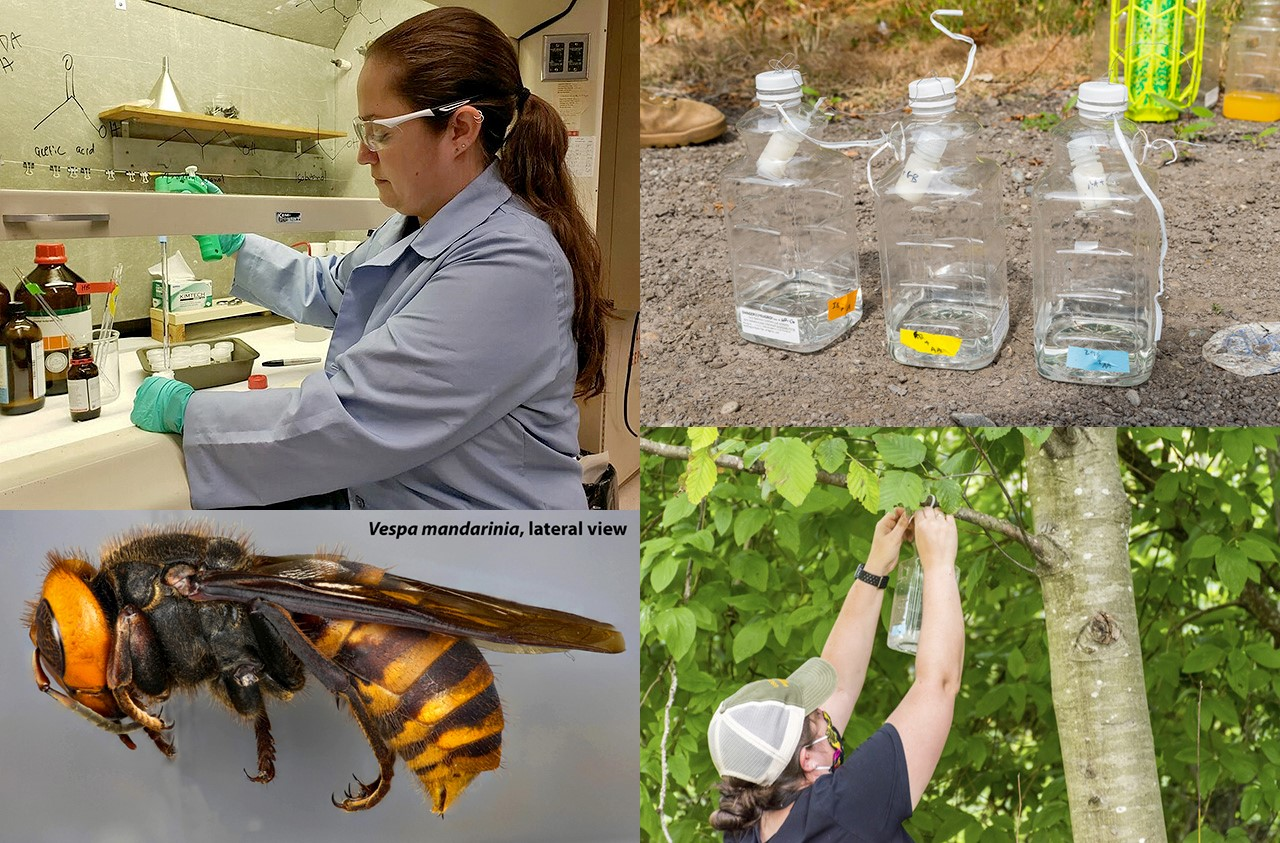 We study the chemical ecology of native and invasive insect pests such as the Asian Giant Hornet (Vespa mandarinia, bottom left) and are working to identify insect pheromones and other attractants that can be used to detect, monitor, and manage the insect pests.