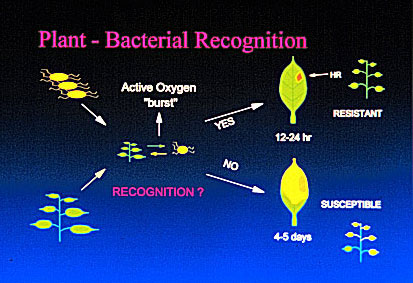 Plant bacterial recognition