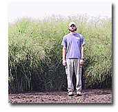 Picture of technician with lush, tall field of switchgrass, a promising biofuel crop, in the background