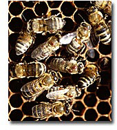 Picture of bees on honeycomb. NPA scientists are among those studying colony collapse disorder in honeybees
