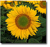 Picture of sunflower. NPA scientists have developed herbicide and white mold resistant varieties.