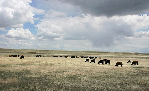 Mandan, ND - Yearling steers grazing on an experimental research pasture of the ARS Rangeland Resources Research Unit.