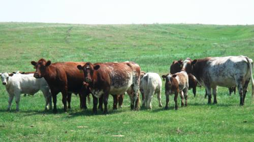 Shorthorn cows in Nebraska.