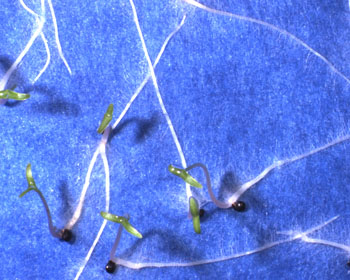 Amaranthus seedlings on blotter paper