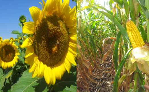 Sunflower and corn are the crops which we focus on in our research