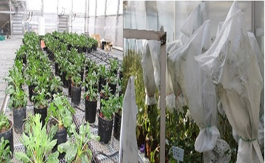 Integrating laboratory, greenhouse and field research Sugarbeet Breeding Experiments