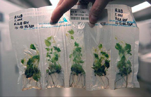 Tissue culture starpacks.