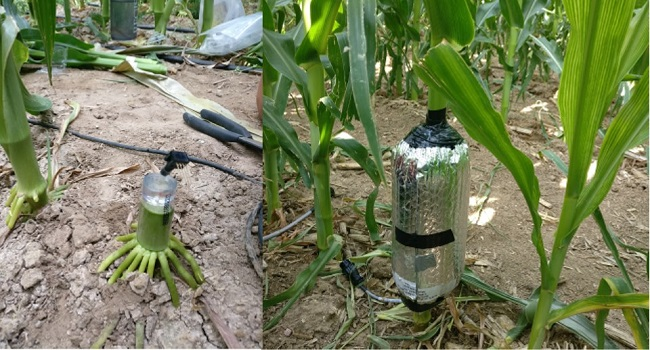 We investigate plant hydraulic functioning of root systems and water use of crop plants.  See research under Louise Comas for details.