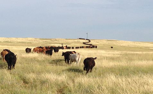 Adaptive grazing management study cattle moving from one pasture to another. This is the large herd of 200 steers and heifers.