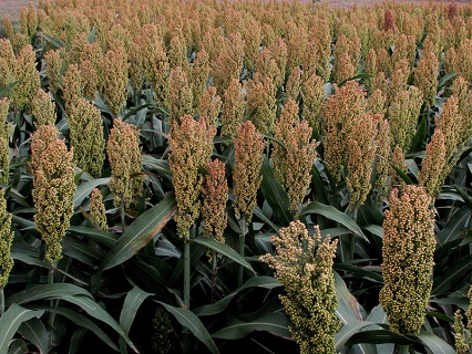 Field of sorghum grown for research purposes.