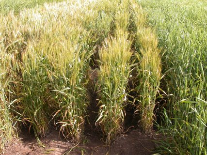 Wheat plots in the grain-filling stage in May