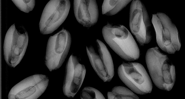 X-ray of beetles in wheat kernels.