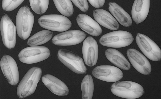 X-ray of beetles in wheat kernels
