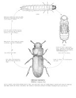life cycle confused flour beetle (Tribolium confusum)