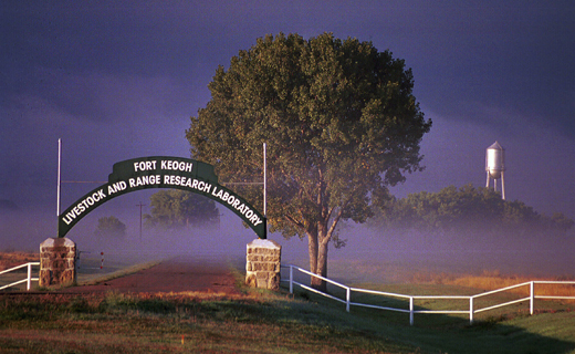 Welcome to Fort Keogh, a 55,000 acre USDA- Agricultural Research Service rangeland beef cattle research facility operated in cooperation with the Montana Agricultural Experiment Station. Click on the picture for an Introduction to Fort Keogh.