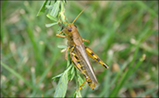 Pest Management Unit scientists are studying the biology and ecology of grasshoppers to find new ways to manage outbreaks without chemical pesticides. Scientists are also studying benefits grasshoppers provide, such as increased nutrient cycling.