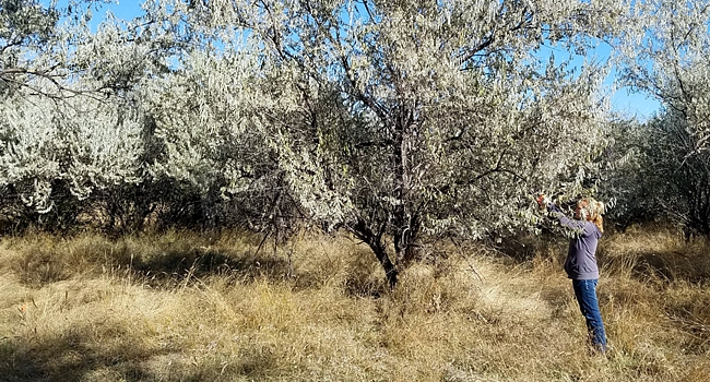 Picture of ARS researcher collecting Russian olive seeds for longevity project.