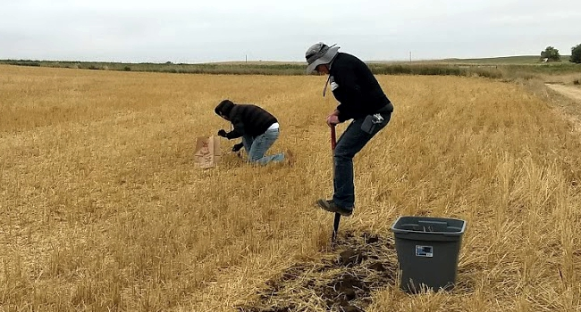 ARS Technicians digging for wheat stem sawfly stubs
