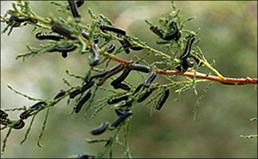 Exotic rangeland weeds are difficult and expensive to control. The Pest Management Unit is studying the use of biological control agents (insects and diseases from a weed's native country) to sustainably and affordably manage these foreign invaders.