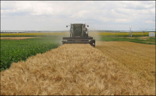 Fall harvest underway, combining wheat plots. NPARL's Agricultural Systems Research Unit does research in both irrigated and dryland cropping systems.