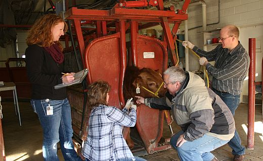 The Genetics, Breeding and Animal Health Research Unit is using genomic tools to identify regions of the genome harboring variation affecting reproductive success in cattle.