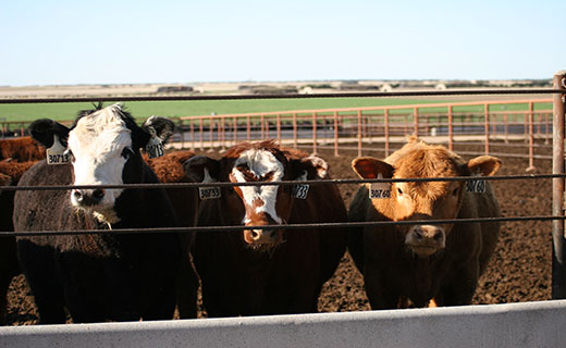The Genetics, Breeding and Animal Health Research Unit is studying variation in cattle breeds.