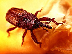 Photo of rice weevil on wheat kernels