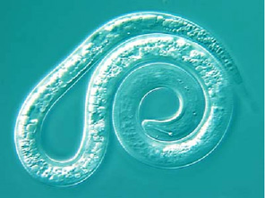 Northern Root-Knot Nematode