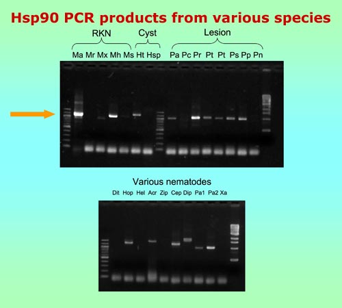 Hsp90 PCR products from various species