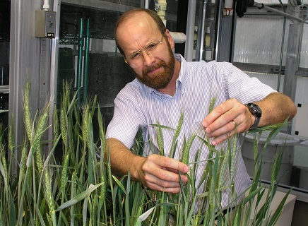 Dr. David Schisler examines the results of a biological control experiment to combat Fusarium head blight of wheat.