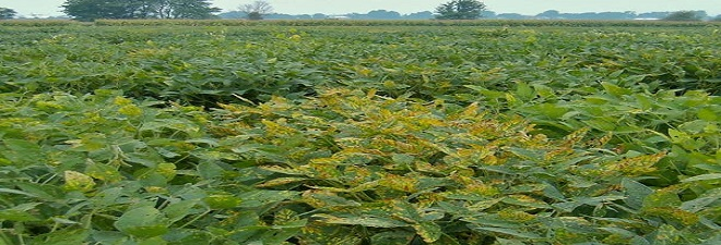 Soybean sudden death syndrome caused by a toxin producing fungus