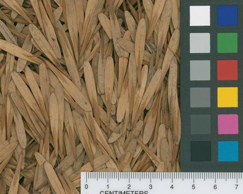 Fraxinus pennsylvanica seed