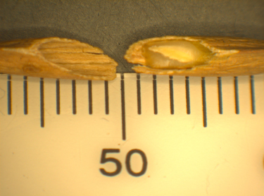 Image of two seeds cut in half.