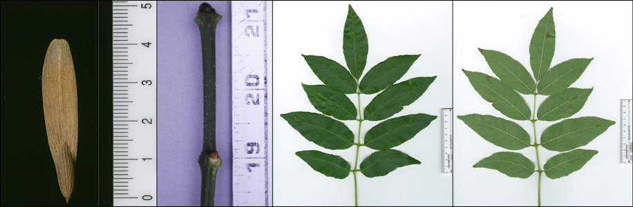 Images of Fraxinus americana (white ash).
