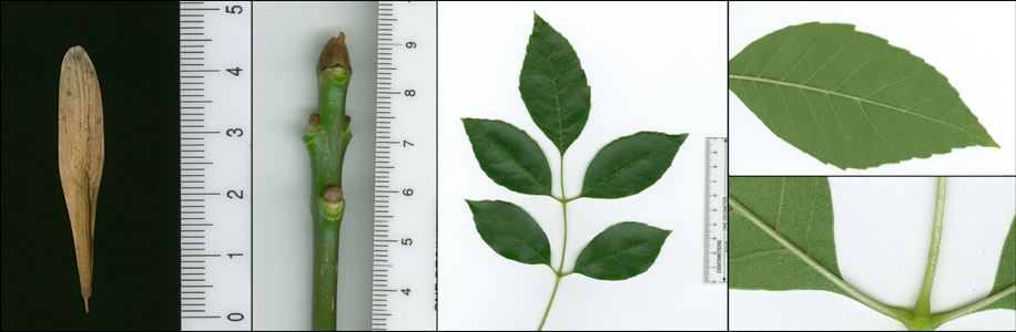 Images of Fraxinus pennsylvanica (green ash).