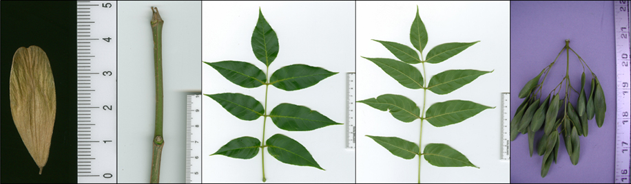 Images of Fraxinus quadrangulata (blue ash).
