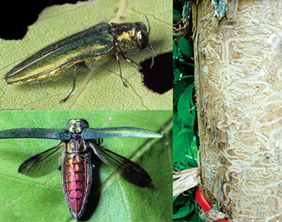 Images of EAB