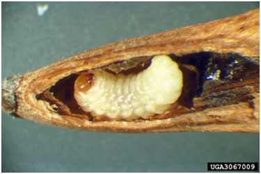 Image of ash seed weevil.