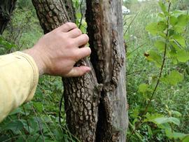 Large specimen of Viburnum prunifolium