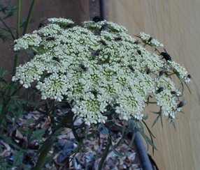 Flies on Daucus