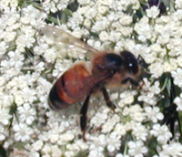 Honey Bee on Daucus