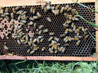 Honey Bee on Frame of Comb